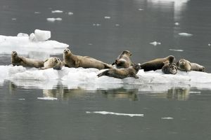 Harbor Seals (Phoca vitulina) on ice near Johns Hopkins Glacier in Glacier Bay National Park