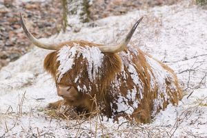 A Highland cow in Glen Nevis in the snow in Scotland