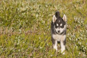 Inuit sled dog husky puppies in Ilulissat on Greenland