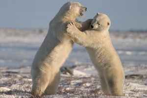 Male Polar Bears, Ursus maritimus, engaged in ritualistic mock fighting (serious injuries are rare)