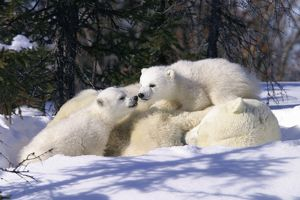 Mother Polar Bear (Ursus maritimus) with 3 month old cubs near Wapusk Park, northern Manitoba