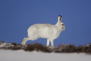 Mountain Hare (Lepus timidus) running in snow with heather poking through snow. highlands