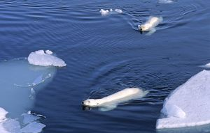 Two Polar Bears (Ursus maritimus) approaching while swimming amongst melting ice floes