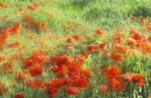 Poppies blowing in the wind in a field in Norfolk, UK.