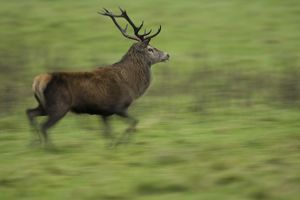 Red Deer (Cervus elaphus) running, taken with slow shutter speed to give sense of movement