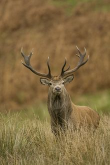 Red Deer (Cervus elaphus) stag standing in long grass. Isle of Mull, Argyll, Scotland, UK