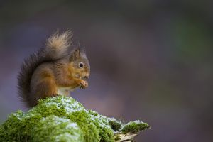 Red Squirrel (Sciurus vulgaris) sitting on mossy branch eating nut, with a snow covering