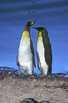 Reflected sunlight on king penguin (Aptenodytes patagonicus) breeding and nesting