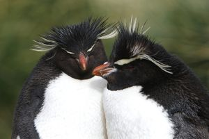 Rockhopper Penguin (Eudyptes chrysocome) pair at Devil's Nose on New Island in