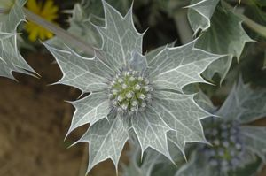 Sea holly Eryngium maritimum, Kenfig National Nature Reserve, Wales, Uk, Europe