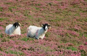 sheep in blooming heather on blencathra in the Lake District UK