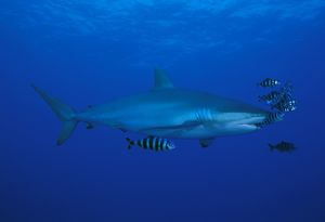 Silky shark with pilot fish (Carcharhinus falcicormis). Red Sea