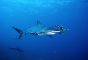 Silky shark with pilot fish (Carcharhinus falciformis). Red Sea