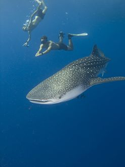 Snorkellers getting close up to the elusive Whale shark (Rhincodon typus). Species Endangered