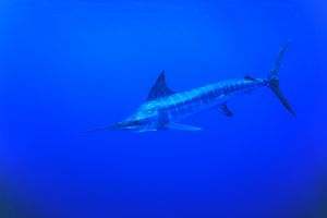 Striped Marlin, Tetrapturus audux. North Island, Three Kings, New Zealand. (rr)