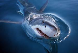 White shark looks above water (Carcharodon carcharius). South Africa