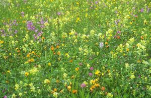 A wild flower meadow in Austria