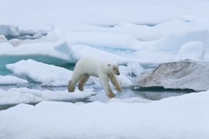 A young polar bear (Ursus maritimus) leaping from floe to floe on multi-year ice