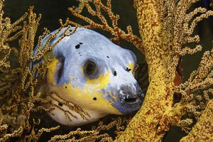 Black spotted puffer