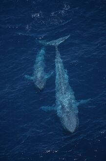 Blue whale Balaenoptera musculus,