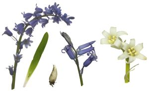 Bluebell Composite