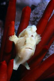 This juvenile Commerson's frogfish, Antennarius commersoni