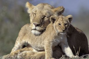 Lioness and cub, Panthera leo