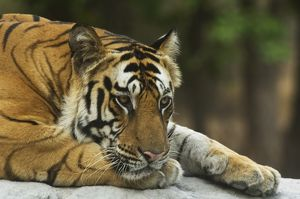 A male Royal Bengal Tiger resting