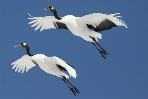 Red Crowned Crane, Grus japonensis