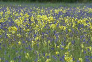 Spring meadow of Bluebells and Cowslips