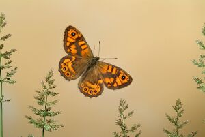 The Wall Butterfly, Lasiommata megera