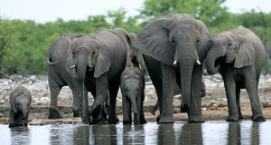 African Elephants at water hole, Etosha NP, Namibia, South Africa