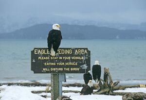 bald eagle eagle feeding site homer spir alaska