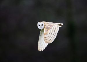 Barn Owl Tyto alba hunting over meadow North Norfolk winter