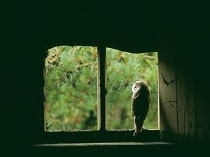 Barn Owl, Tyto alba, peering from nest site in derelict barn, UK, summer