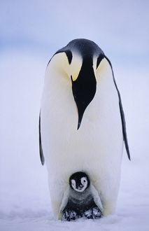 Emperor Penguins, Aptenodytes forsteri, chick being brooded, Weddell Sea, Antarctica