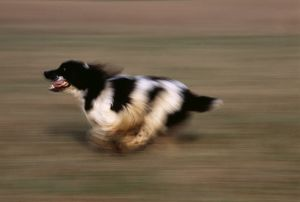 English Springer Spaniel running UK