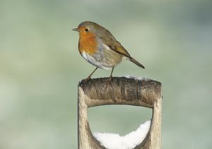 Robin Erithacus rubecula on snow covered spade handle in garden Kent UK winter