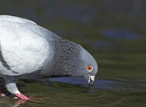 Rock Dove Columba livia drinking at pool Sutherland Scotland