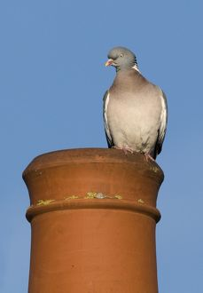 Wood Pigeon Columba palumbus on chimney pot in town Holt Norfolk UK