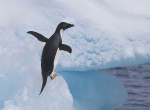 An adelie penguin loafs on an iceberg near it's nesting colony on Paulet Island
