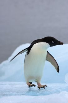 adelie penguin, Pygoscelis Adeliae, on glacial ice along the western Antarctic Peninsula
