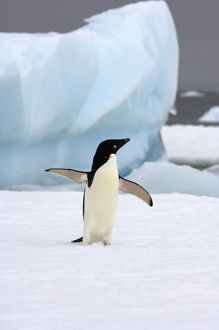 adelie penguin, Pygoscelis Adeliae, on sea ice along the western Antarctic Peninsula
