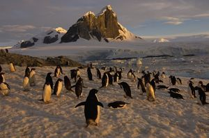 adelie penguin, Pygoscelis Adeliae, colony along the western Antarctic Peninsula