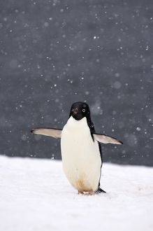 adelie penguin, Pygoscelis Adeliae, in falling snow along the western Antarctic Peninsula
