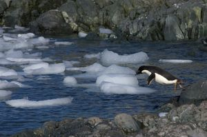 adelie penguin, Pygoscelis Adeliae, jumping into waters off the western Antarctic