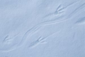 Adelie Penguin, (Pygoscelis adeliae), footprints in snow, Cape Hallett, Ross Sea
