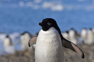 Adelie Penguin (Pygoscelis adeliae) on the beach, Devil Island, Antarctica