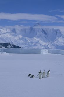 Adelie Penguin, (Pygoscelis adeliae) on sea ice, Cape Hallett, Victoria Land, Antarctica