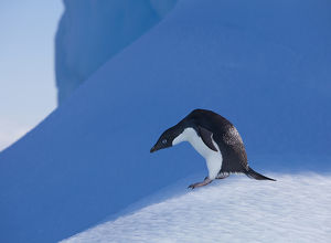 An adelie penguin stands on a blue iceberg near it's colony on Devil Island